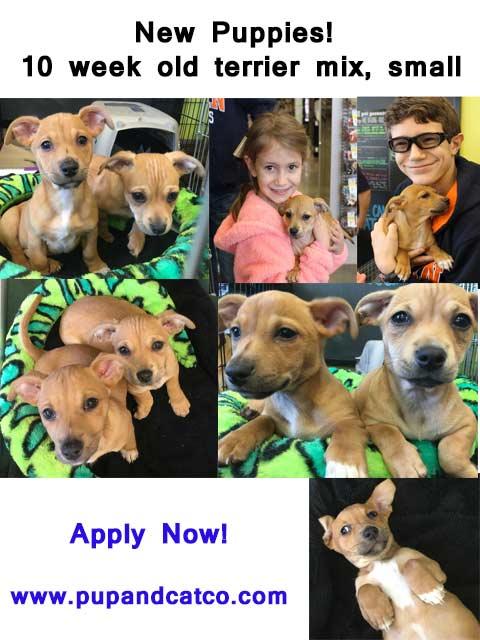 New-Terrier-pups-10-weeks